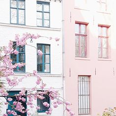 pink blossoms//