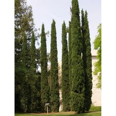 Cupressus Green Pencil 200mm. A hardy, conical shaped conifer grown for its very tight, erect, blue-green foliage. Tolerates a wide range of conditions. - Frost hardy - Ideal specimen tree - Ideal screening tree.