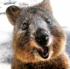 So in love with these little creatures....Rottnest Island Quokka