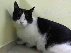 TO BE DESTROYED 8/23/14 ** FRIENDLY TUXIE! PJ immediately comes soliciting at the front of the cage.   PJ rubs on the assessor's hand, purrs, and appreciates petting on the head and body ** Manhattan Center  My name is PJ. My Animal ID # is A1010077.  I am a neutered male white and black domestic sh mix. The shelter thinks I am about 5 YEARS old.    OWNER SUR on 08/11/2014 from NY 10314, ALLERGIES.