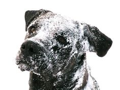Snow Dog!  #dogs #winter #adorable