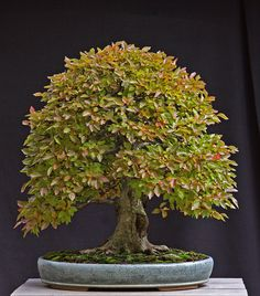 Korean Hornbeam; Another with a great character filled trunk. Reminds me of Pooh's tree where he lives under the name Saunders
