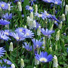 10 best sallys flower wish list images on pinterest flowers blue and white spring garden 60 flower bulbs buy online order now mightylinksfo