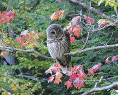 Beautiful autumn tawny owl