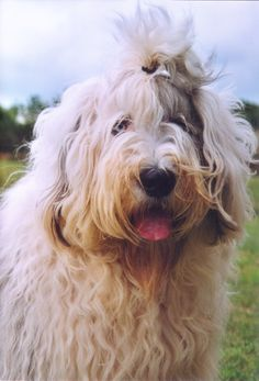 old english sheepdog photo | OLD ENGLISH SHEEPDOG Dog Pictures, Photos, and Images, Photo Gallery ...