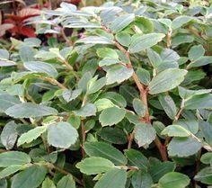 Begonia fuchsifolia 'White'