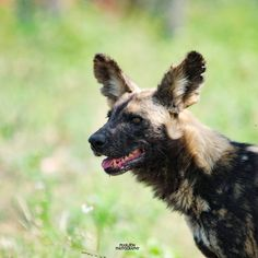 Similar to other great African animals with distinct coat patterns, no two wild dogs have the same spotted patterns—these are unique to… Kruger National Park, National Parks, Wild Dogs, Coat Patterns, African Animals, Adventure, Unique, Instagram, Adventure Game