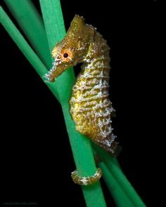 Smallest seahorse in US waters might get endangered protection. These are my favorite sea animals! All Gods Creatures, Sea Creatures, Seahorse Facts, Leafy Sea Dragon, Cute Animals, Funny Animals, Water Life, Sea World, Whales