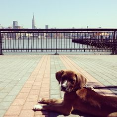 Puppy goes to the city #puppy #Dog #NYC