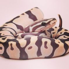 SCALELESS ball python produced by BHB Reptiles ... first in the world