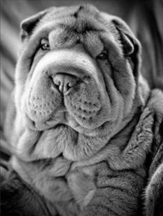 best images and photos ideas about awesome chinese shar pei dogs - oldest dog breeds Shar Pei Puppies, Cute Puppies, Dogs And Puppies, Sharpei Dog, Chinese Shar Pei Dog, Chinese Dog, West Highland Terrier, Scottish Terrier, Pet Dogs