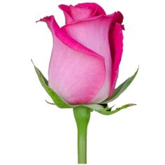 Religious Magic And Spiritual Ability Element One Topaz 8 Eden Roses 2016 Hot Pink Rose Images, Flower Images, Flower Pictures, Rose Drawing Tattoo, Flower Art Drawing, Beautiful Rose Flowers, Purple Flowers, Hot Pink Roses, Red Roses