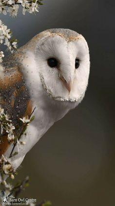 Barn Owl portrait. - from The Barn Owl Centre