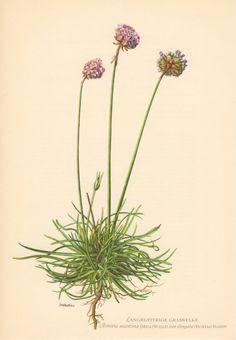 1955 Sea Thrift Antique Botanical Print Vintage by Craftissimo, €12.95