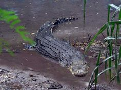 crocodile australie accident - Recherche Google