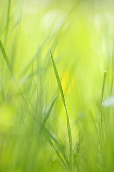 Flores Discover Blades of grass - green spring meadow - abstract soft blurred by Matthias Hauser Spring Photograph - Blades Of Grass - Green Spring Meadow - Abstract Soft Blurred by Matthias Hauser Photo Background Images, Photo Backgrounds, Prints For Sale, Art For Sale, Foto Macro, Green Pictures, Canvas Art, Canvas Prints, Green Grass
