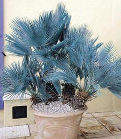 Winterharte Blaue Zwerg-Palmen, 1 Pflanze, Chamaerops humilis Cerifera | GartenXXL.de
