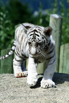 White Tiger Cub by sluggoman