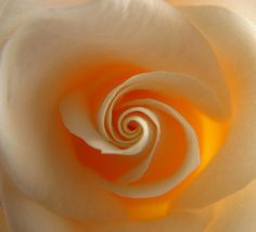 is a rose