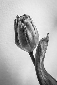 Tulip(án)