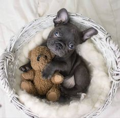 #Bulldogfrancese #frenchie #frenchieoftheday #französischebulldogge #icucciolidicarlottaofficial #frenchbull #icucciolidicarlotta #frenchbulldog French Bulldog, Pets, Animals, Puppies, Hilarious Animals, Animales, Cubs, Animaux, French Bulldog Shedding