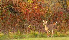 Running Deer Autumn Backdrop