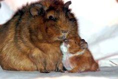 so cute! guinea pigs