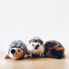 This Instagram Account Will Satisfy Your Addiction for Adorable Hedgehogs