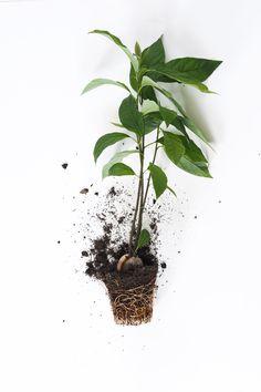 How to grow an avocado plant - Trädgård - Indoor Garden, Garden Plants, Indoor Plants, Potted Plants, Avocado Plant, Avocado Seed, Small Glass Jars, Plants Are Friends, Houseplants