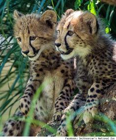 Cheetah Pups | magicalnaturetour cheetah cubs named for fastest u s olympic sprinters ...