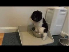 And this guy who has no idea what to do with any water bigger than a cup.   39 Dogs Who Will Make You Question Evolution