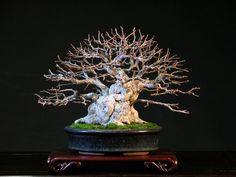 Chinese Hackberry Bonsai