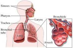 Bahaya Penyakit Ispa Pada Orang Dewasa.- ISPA sering disalah artikan sebagai infeksi saluran pernapasan atas. Padahal yang benar ISPA merupakan singkatan dari Infeksi Saluran Pernapasan Akut.