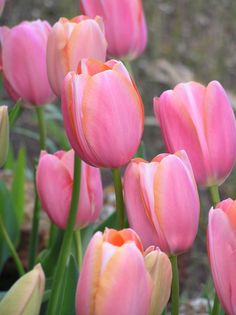 Bulk Tulips - Menton - Tulips With A Difference Beautiful Roses, Beautiful Flowers, Spring Bulbs, Pink Tulips, Farm Gardens, Daffodils, Spring Flowers, Garden Inspiration, Garden Plants