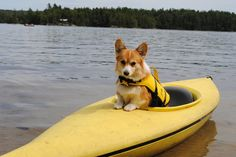 The Daily Corgi What do you think?  Too matchy matchy?