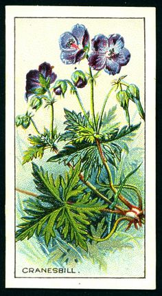 """Co-operative Wholesale Society Cigarettes """"Wayside Flowers"""" (brown backed series of 48 issued in Cranesbill Collectible Cards, Junk Art, Sketchbook Inspiration, Vintage Greeting Cards, Old Postcards, Book Of Shadows, Flower Cards, Botanical Illustration, Botanical Prints"""