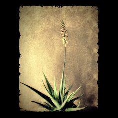 Aloe Vera in Bloom