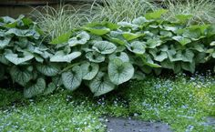 Brunnera macrophylla 'Silver Wings' with Myosotis and Carex