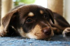 Kelpie puppy so sweet when not being a holy terror Cute Puppies, Dogs And Puppies, Adorable Dogs, Doggies, Australian Shepherds, West Highland Terrier, Scottish Terrier, Rottweiler, Husky