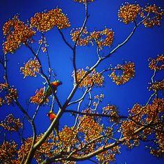 Lorikeets in a Jacaranda Tree