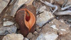 Hydnora-Die Hydnora ist ein Parasit. Im südlichen Arabien und in Afrika nistet sie sich beispielsweise bei Agaven ein. Dabei lebt sie, bis auf ihre Blüte beziehungsweise Frucht, komplett unterirdisch. Wäre sie doch ganz dort geblieben – denn ausgerechnet die überirdischen Pflanzenteile sondern einen unerträglichen Gestank ab. Doch auch wenn der intensive Verwesungsgeruch es nicht vermuten lassen würde, die Hydnora ist ein Pfeffergewächs und ihr Fruchtfleisch ist essbar.