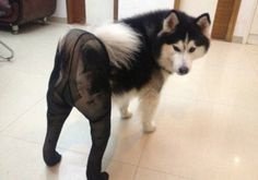 """Two dogs dressed in pantyhose and high heels Brian Ashcraft of Kotaku is reporting that """"dogs wearing pantyhose"""" is a popular new meme in China. Dog Wearing Pantyhose, Funny Animal Pictures, Dog Pictures, Cute Pictures, Funny Animals, Cute Animals, Dogs In Tights, Crazy Costumes, Dog Humor"""