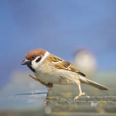 Sparrow.