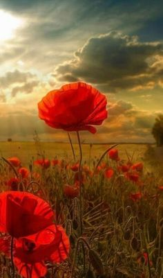Beautiful Poppys
