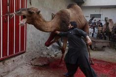 Sacrifice in the name of religion. Personally I don't care if this religion wants to adhere to their old ways, slaughtering animals is just barbaric and should be eliminated. I find this revolting and quite frankly true religion in any faith should not sacrifice living creatures.