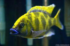 malawi cichlid Malawi Cichlids, African Cichlids, Tropical Aquarium, Tropical Fish, Victoria Lake, Marine Aquarium Fish, Cichlid Fish, Lake Tanganyika, Aquarium Setup