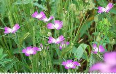 Coquelourde au jardin nature : http://www.jaime-jardiner.com/coquelourde/