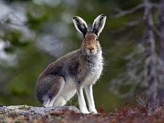 Metsäjänis, Lepus timidus - Nisäkkäät - LuontoPortti