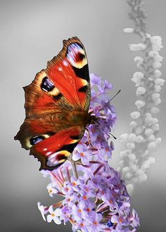 Peacock Butterfly by Veli Bariskan