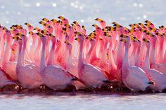 James's Flamingo rosa, rosa rosa